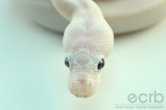 Found Some Ball Python Photos