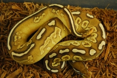 11-178-yellow-belly-black-pastel-lesser-male-1
