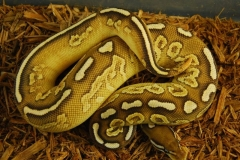 11-178-yellow-belly-black-pastel-lesser-male