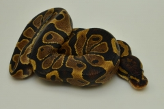 12-160-yellow-belly-female