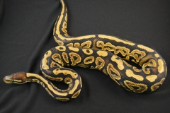 11-209-Black-Pastel-Het-Pied-Male