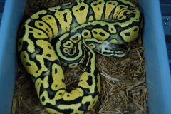 11-348-super-pastel-het-genetic-stripe-femalea