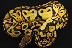 11-377-Pastel-Yellow-Belly-Malea