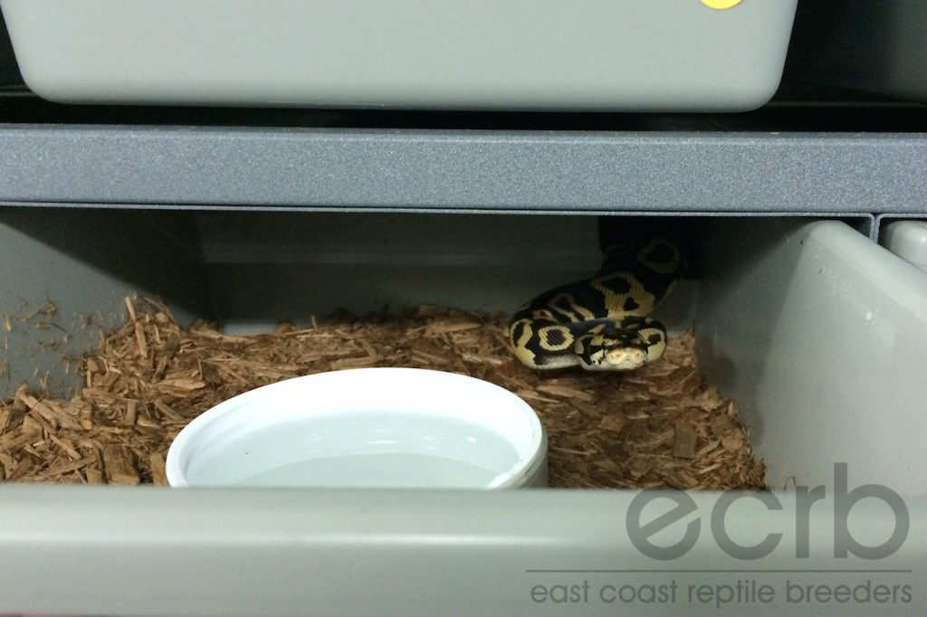 The Enigmatic Ball Python Appetite   East Coast Reptile Breeders